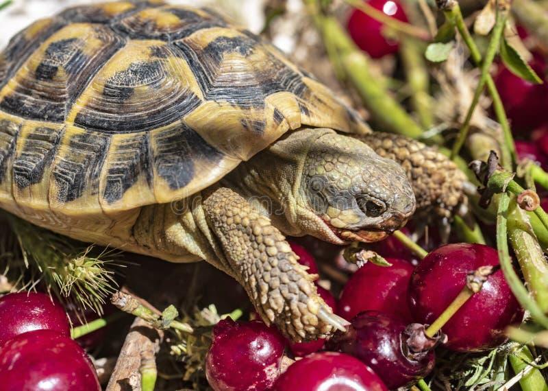 Alimentation de hermann de tortue images libres de droits