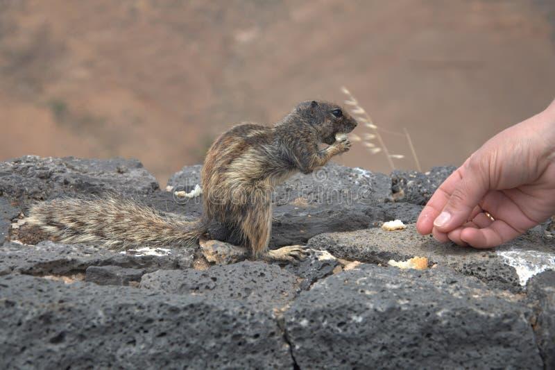 Alimentation de l'écureuil images libres de droits