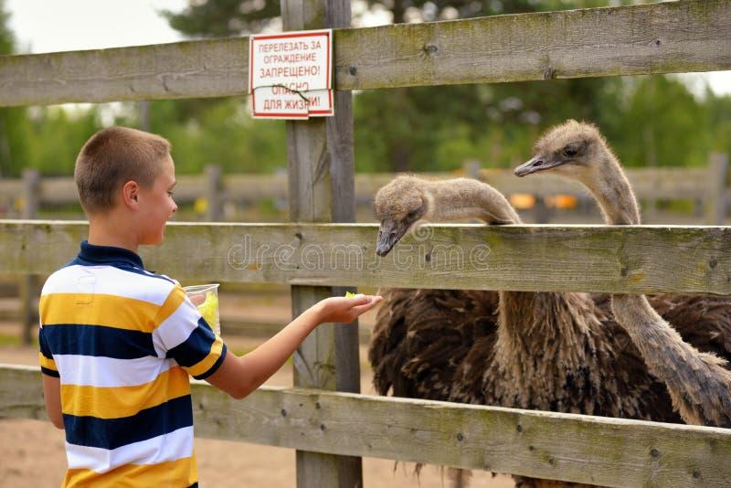 Alimentation de l'autruche à une ferme en été image libre de droits