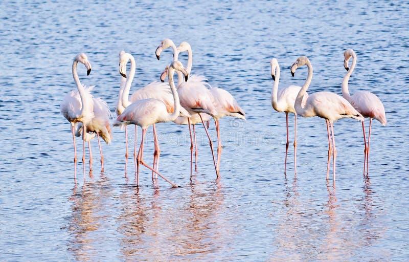 Alimentation de Lesser Flamingos photos stock