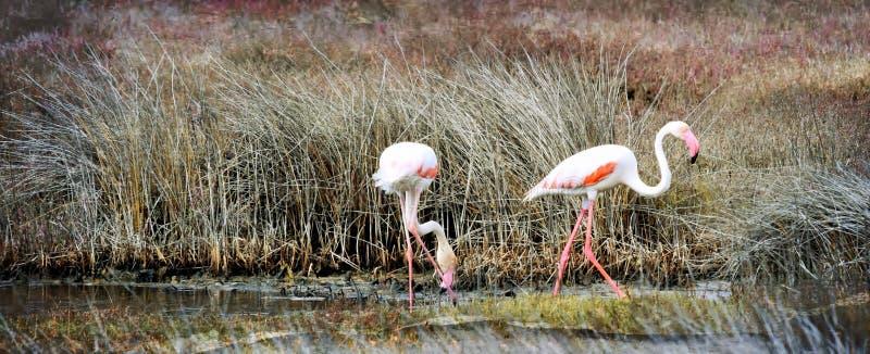 Alimentation de Lesser Flamingos image libre de droits