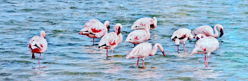 Alimentation de Lesser Flamingos photo stock