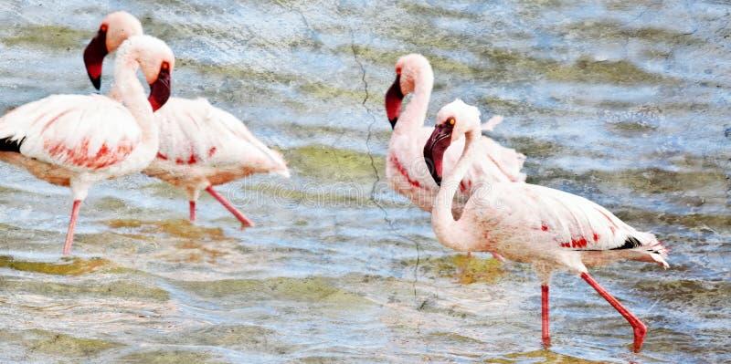 Alimentation de Lesser Flamingos photos libres de droits