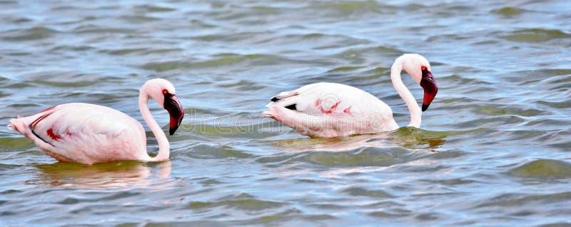 Alimentation de Lesser Flamingos images libres de droits