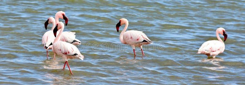 Alimentation de Lesser Flamingos photographie stock