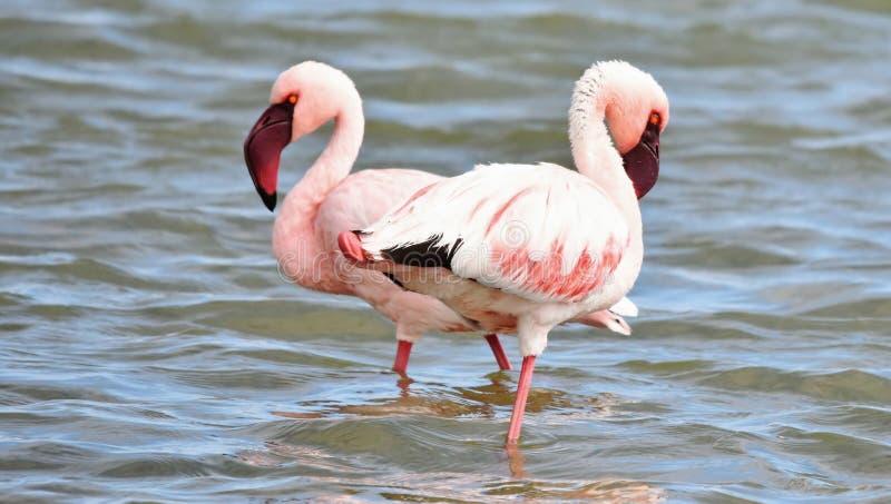 Alimentation de Lesser Flamingos photographie stock libre de droits