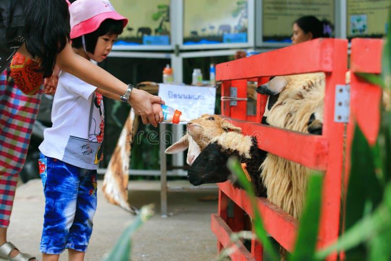 Alimentation de moutons image stock