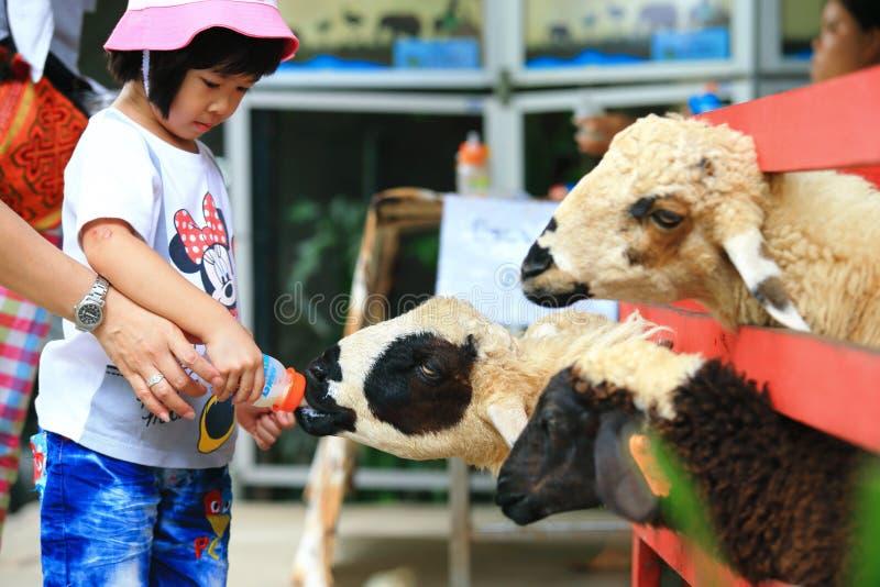 Alimentation de moutons photographie stock