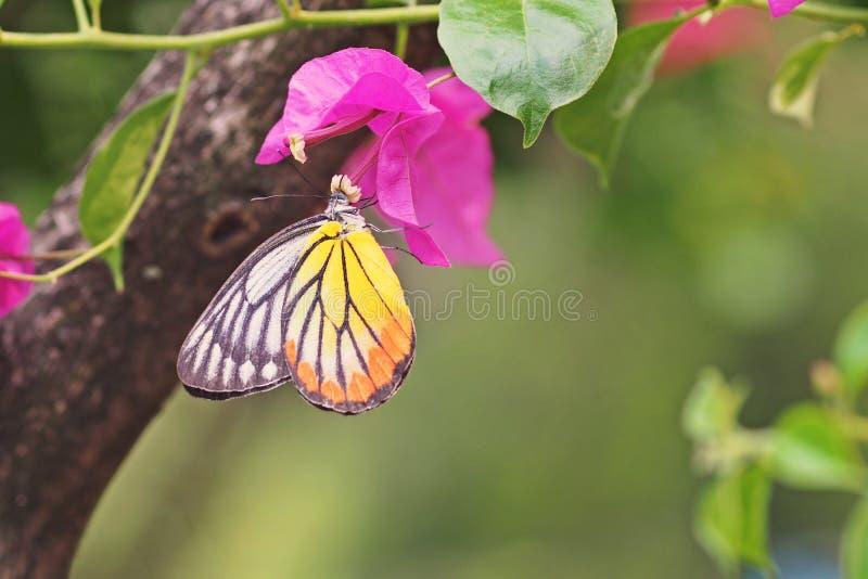 Alimentation de papillon image libre de droits