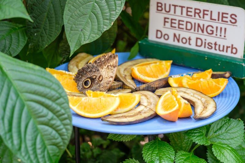 Alimentation de papillon photos stock