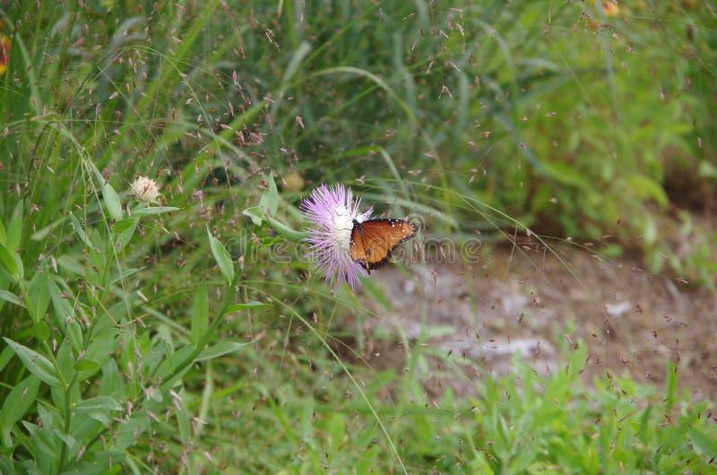 Alimentation de papillon de reine image stock