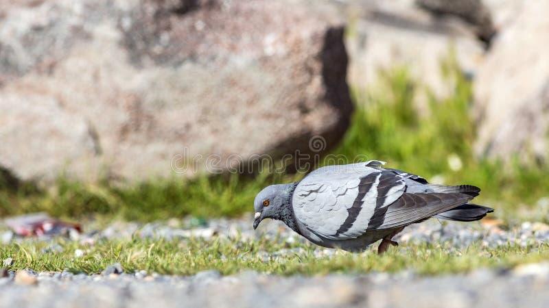 Alimentation de pigeon image libre de droits