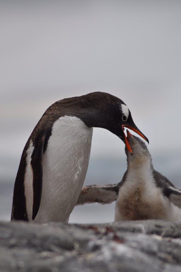 Alimentation de pingouin photographie stock