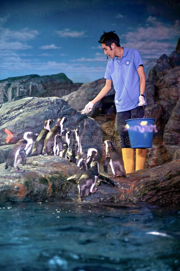 Alimentation de pingouin photo stock