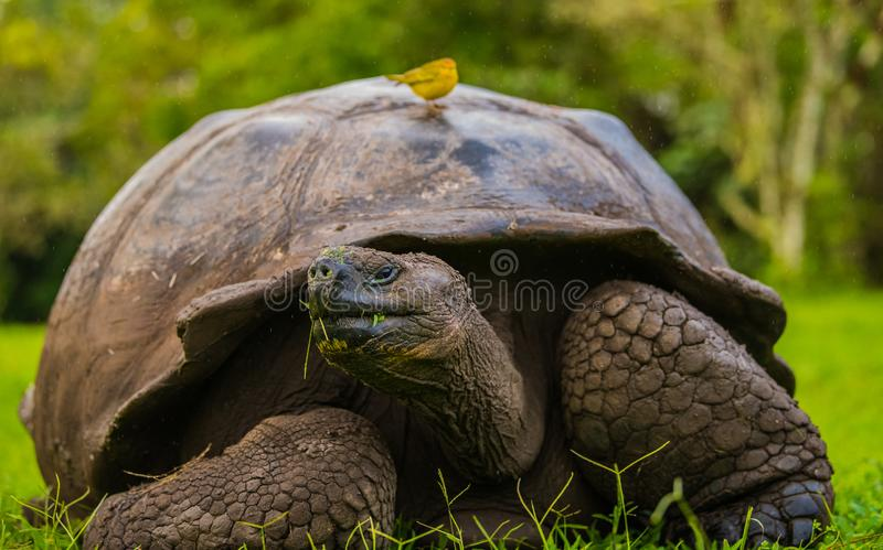 Alimentation de tortue g?ante images libres de droits