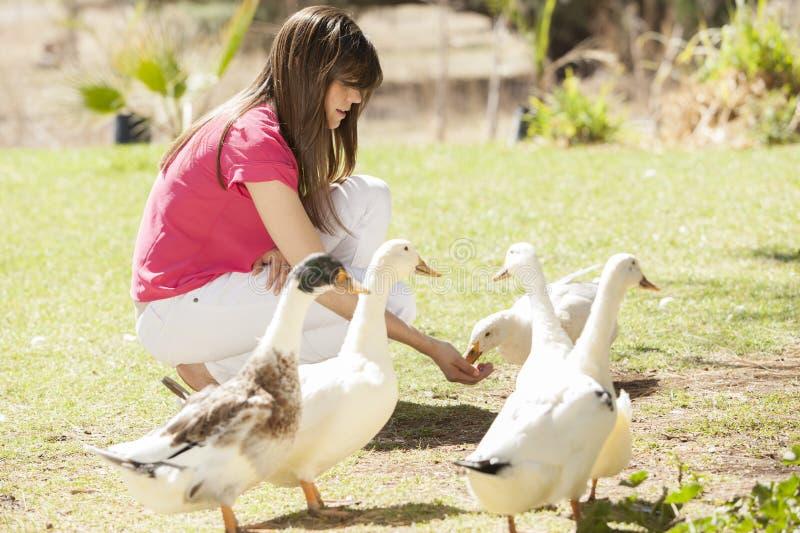 Alimentation des canards image stock