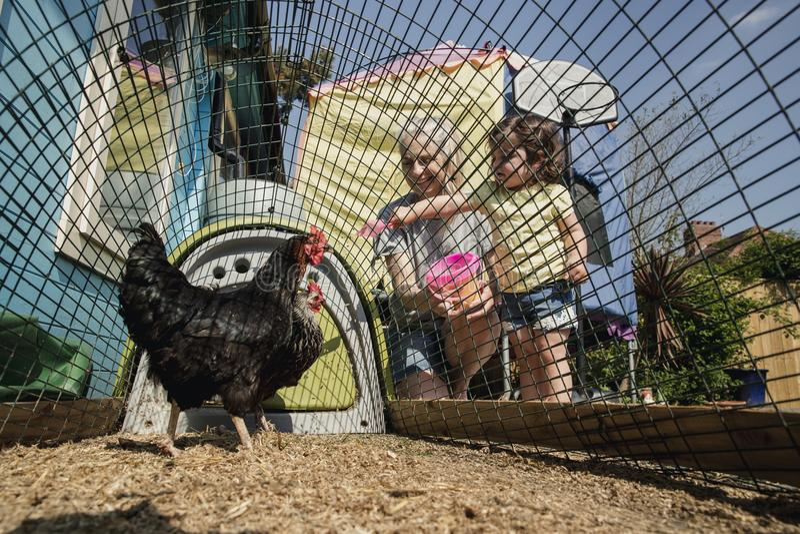 Alimentation des poulets images stock