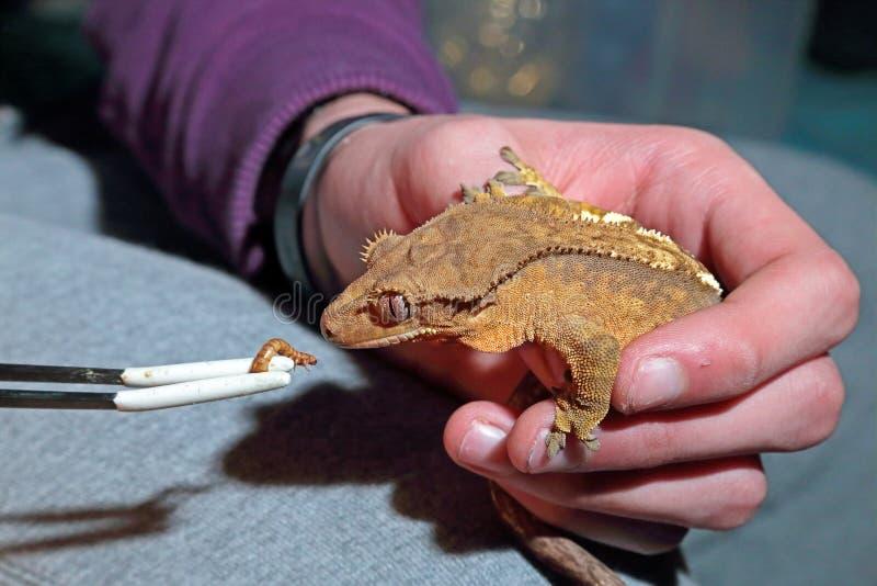 Alimentation du gecko crêté de captif photo libre de droits