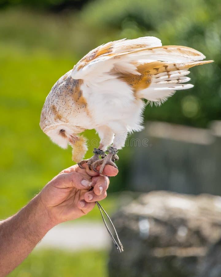 Alimentations alba d'Owl Tyto de grange d'une main de falconer's photographie stock