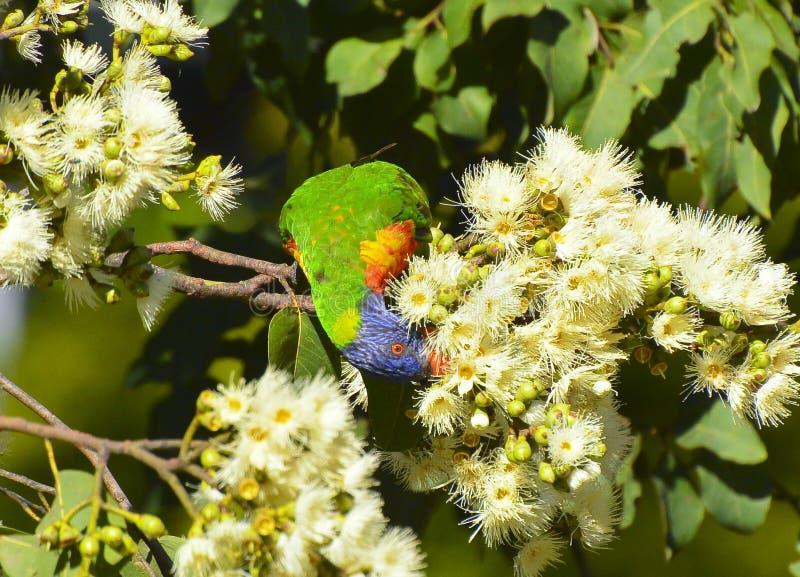 Alimentations de lorikeet d'arc-en-ciel sur le nectar et le pollen image libre de droits