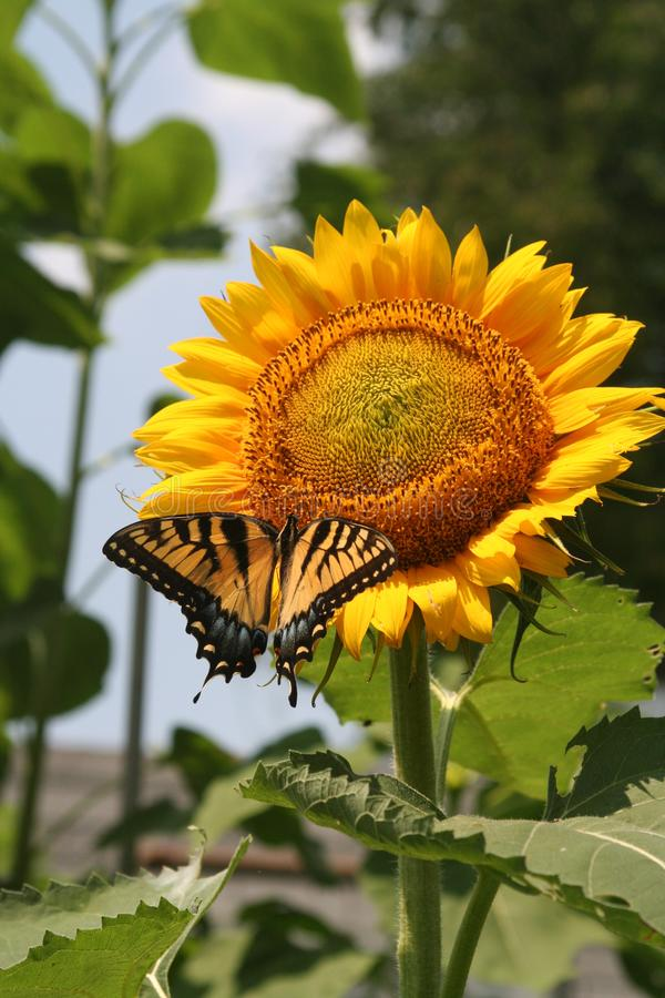 Alimentations de papillon de Tiger Swallowtail sur le tournesol photos stock