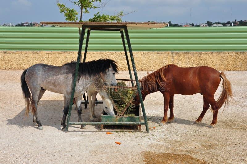 Alimentatore del fieno dei cavalli del cavallino di Skyros fotografia stock libera da diritti
