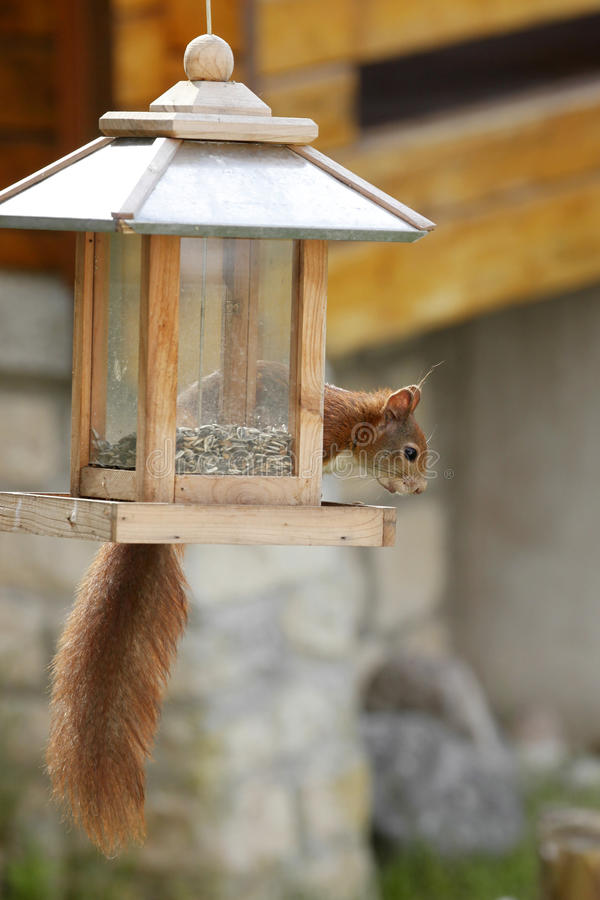 Alimentatore di saccheggio vulgaris scoiattolo rosso/uccello euroasiatici dello Sciurus fotografie stock libere da diritti