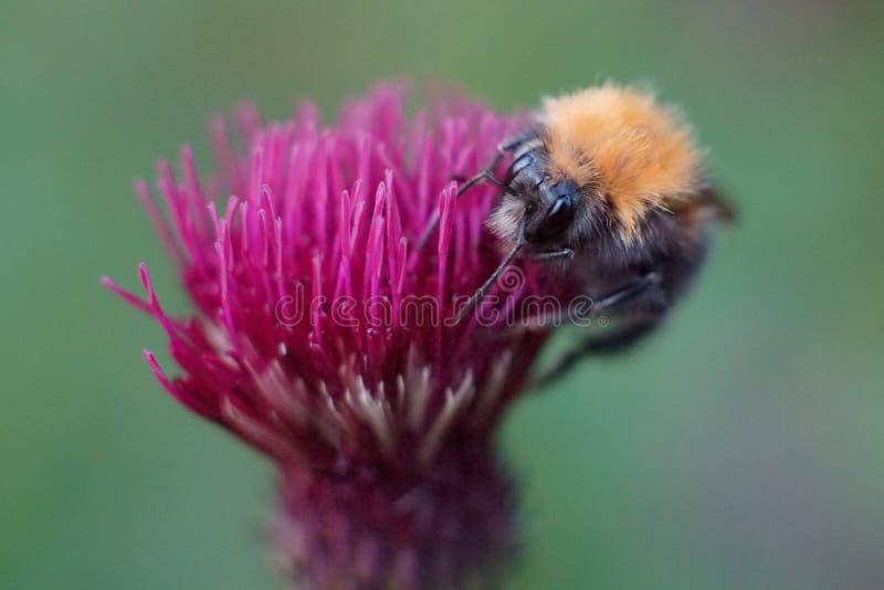Alimentazione apicola sul cardo selvatico fotografia stock libera da diritti