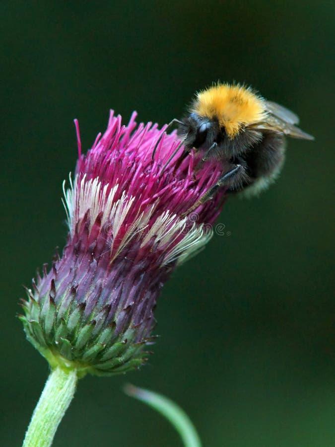 Alimentazione apicola sul cardo selvatico immagine stock libera da diritti