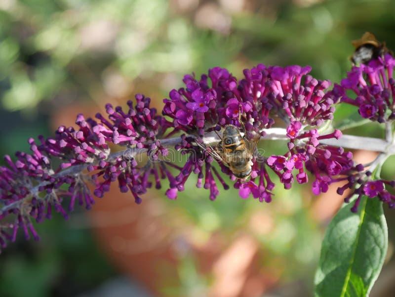 Alimentazione apicola sul cespuglio di buddlea in giardino in Burnley Inghilterra fotografia stock libera da diritti