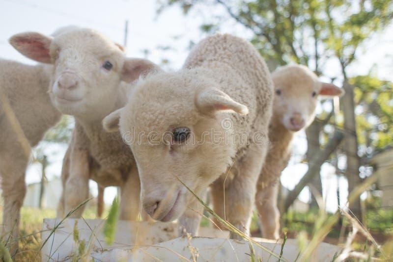 Alimentazione degli agnelli fotografia stock