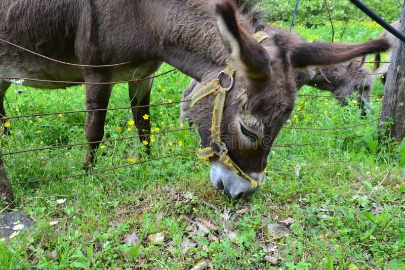 Alimentazione degli asini immagini stock libere da diritti