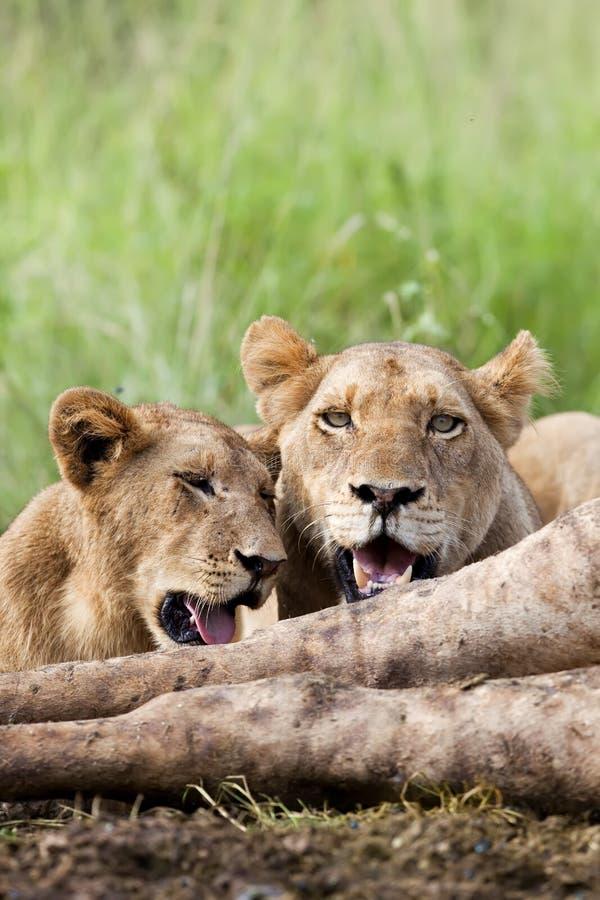 Alimentazione dei leoni fotografia stock