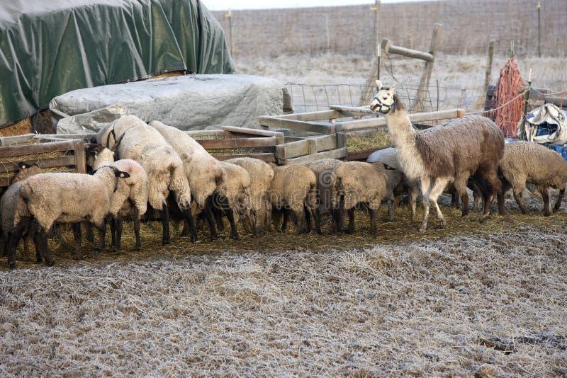Alimentazione del bestiame alla depressione. immagini stock