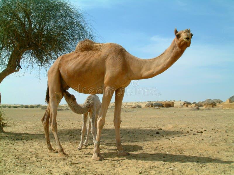 Alimentazione del cammello del bambino immagini stock
