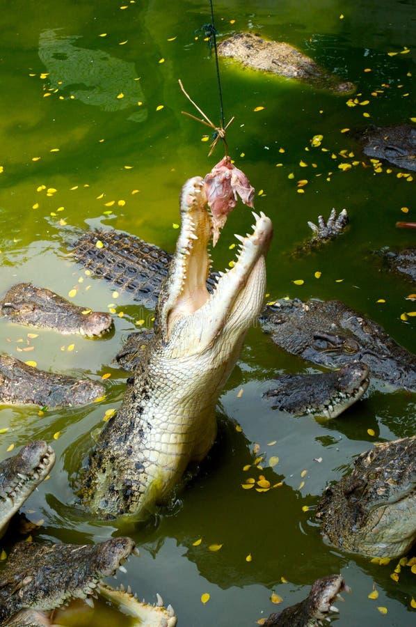 Alimentazione del coccodrillo fotografie stock libere da diritti