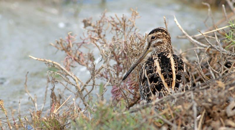 Alimentazione del gallinago del Gallinago di Snipe comune lo stagno fotografia stock libera da diritti