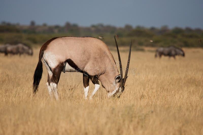 Alimentazione del Gemsbok (Oryx) immagine stock