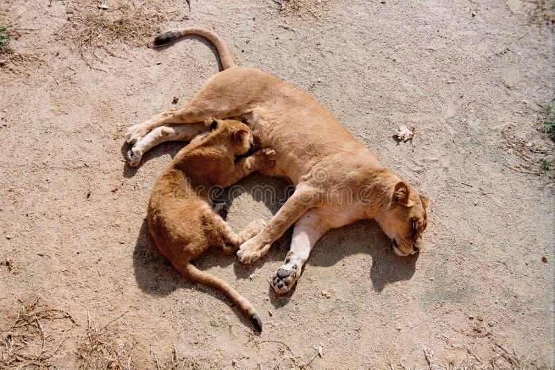 Alimentazione del leone del bambino immagine stock libera da diritti