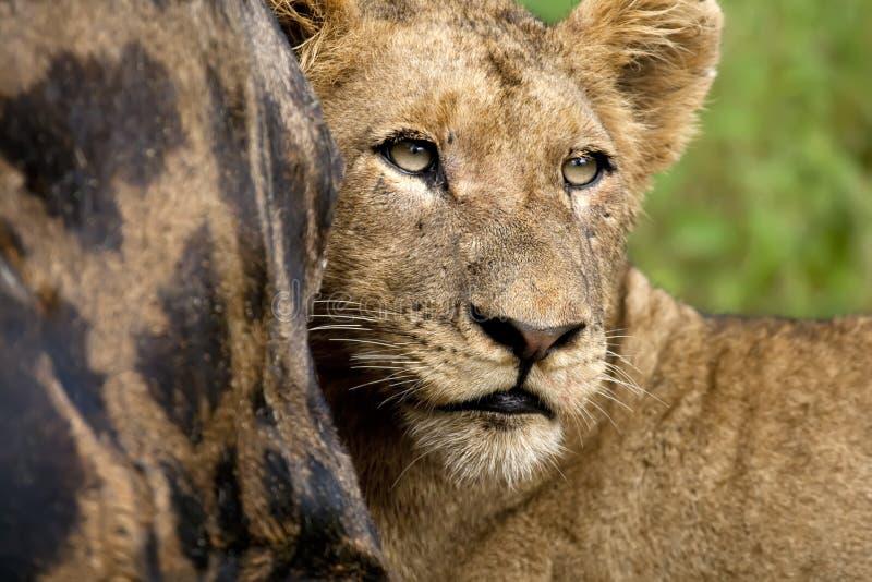 Alimentazione del Lioness immagine stock