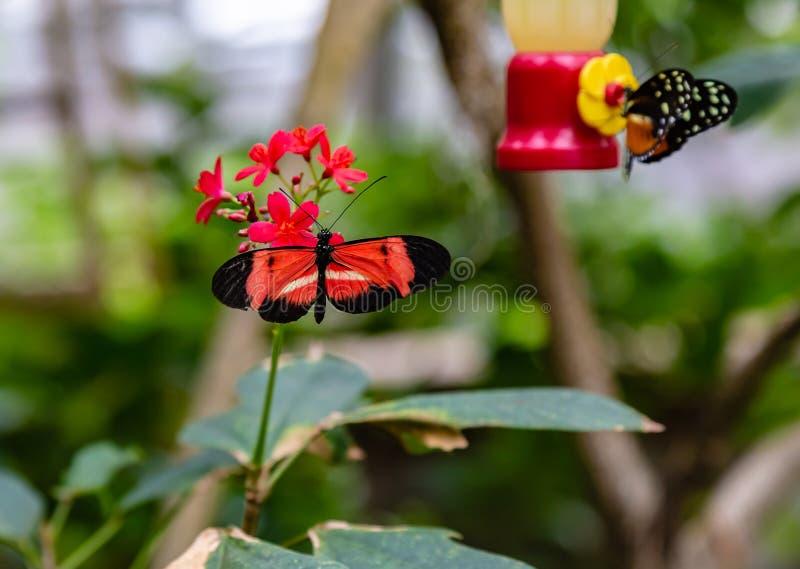 Alimentazione della farfalla del melpomene di Heliconius del postino immagine stock libera da diritti