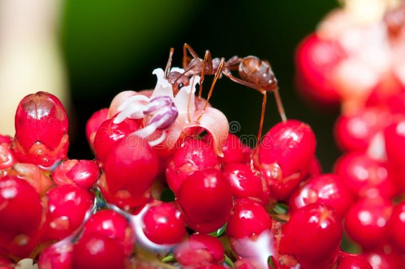 Alimentazione della formica del tessitore fotografie stock