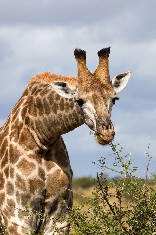 Alimentazione della giraffa fotografia stock libera da diritti