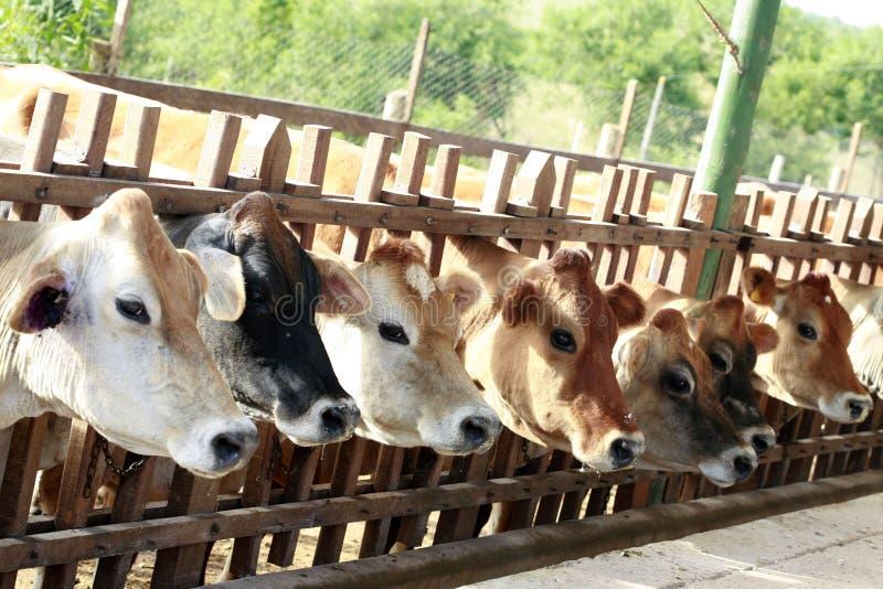 Alimentazione delle mucche fotografie stock