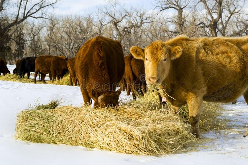Alimentazione delle mucche su fieno durante l'inverno fotografia stock