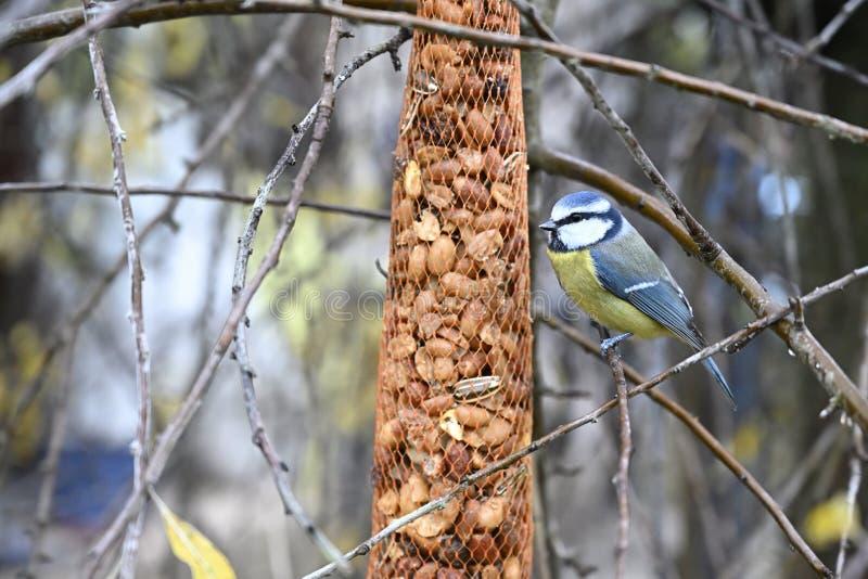 Alimentazione delle tette blu in giardino immagine stock