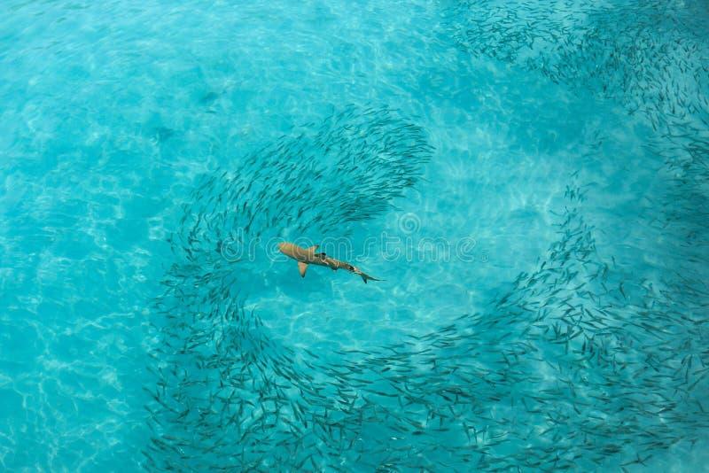 Alimentazione dello squalo della scogliera di Blacktip fotografia stock libera da diritti