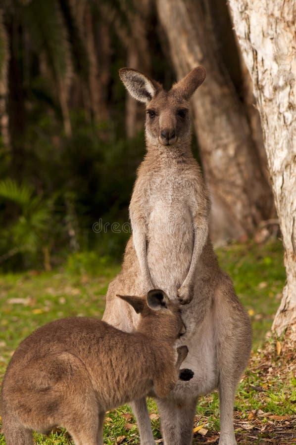 Alimentazione di Joey del canguro immagini stock