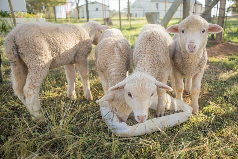 Alimentazione di quattro una piccola agnelli immagini stock