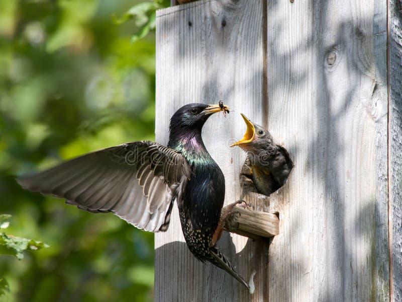 Alimentazione di Starling il suo nestling fotografia stock